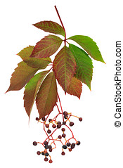 Parthenocissus - Branch of wild grapes isolated on white...