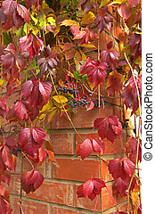 Parthenocissus creeper plant on red brick wall  in autumn.
