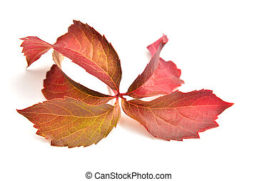 Parthenocissus inserta plant over white background, thicket...