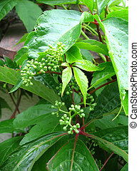 Parthenocissus leaves and buds