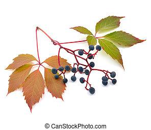 Parthenocissus quinquefolia, known as Virginia creeper,...