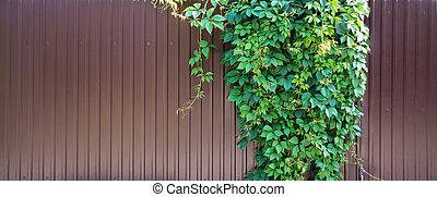 Parthenocissus quinquefolia on a metal fence - Lush green...