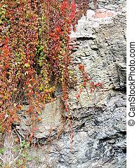 Parthenocissus quinquefolia, or grapes virgin...