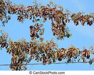 Parthenocissus quinquefolia, or grapes Virginia...