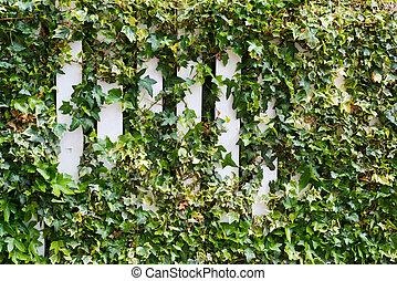 Parthenocissus tendril climbing decorative plant over the...