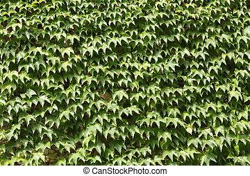 Parthenocissus Tricuspidata - Foliage of a parthenocissus...
