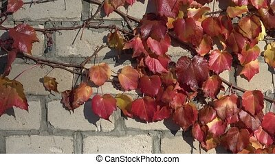 Parthenocissus tricuspidata on a ancient brick wall