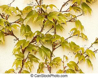 Parthenocissus tricuspidata on the wall