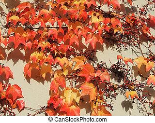 Parthenocissus tricuspidata (Parthenocissus tricuspidata),...
