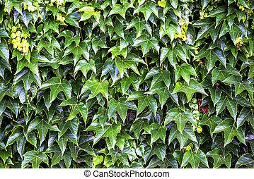 Parthenocissus , wild vine