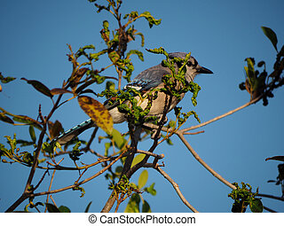 Partially Hidden Blue Jay in a Tree