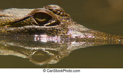 Close up of the exposed yellow eyes of a partially submerged freshwater crocodile in a pond