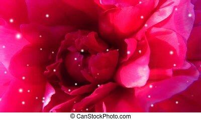 particles., anniversaire, ou, tendre, vidéo, fleur blanche, rouges, rêve, footage., mariage, lumière