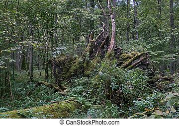 Partly declined broken oak