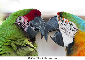 Partners - Two parrots face and chatter with each other in ...