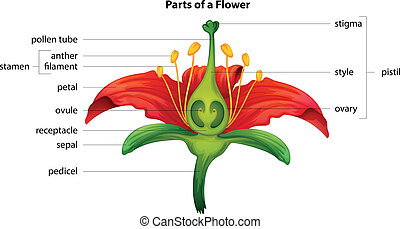 Parts of a flower - Illustration showing the parts of a...