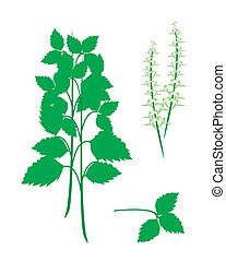 Parts of Holy Basil Plant on White Background