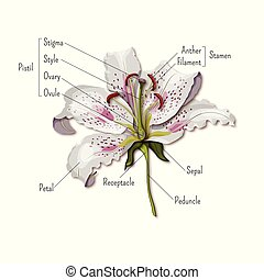 Parts Of Flower Anatomy Diagram For Science Education