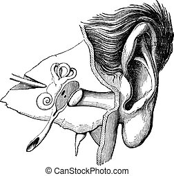 Parts of the Human Ear, vintage engraving
