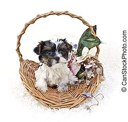 Party Yorkie Puppy