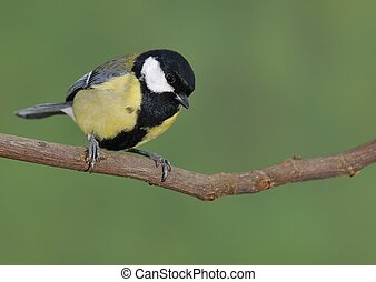 Great tit, Parus major perched on a branch.