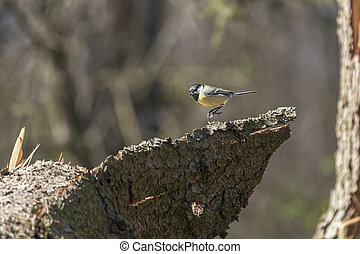 Parus major leaping on tree bark in forest.
