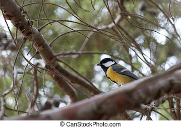 Parus on the branch