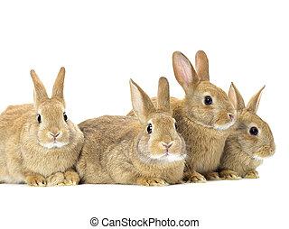 pascua, blanco, conejos