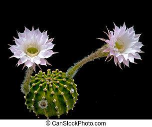 pascua, flor, lirio, cacto