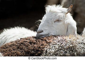 (pashmina), ferme, kashmir, indien, blanc, région montagneuse, chèvre