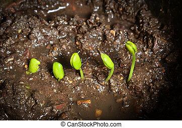 paso, de, crecer, tamarindo, sprout.