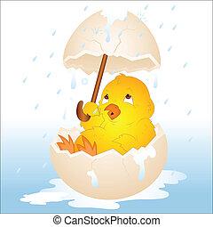 pasqua, pollo, in, pioggia