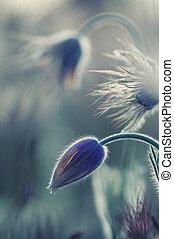 pasque, flores salvajes, en, temprano, primavera