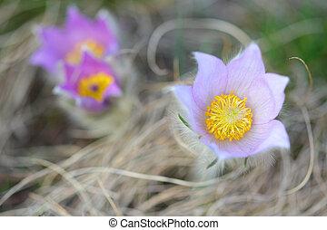 pasque, flores salvajes, florecer, en, temprano, primavera