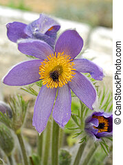 pasque-flower