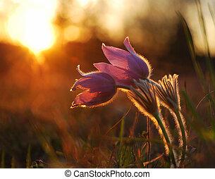 pasque, vild blomstr, ind, sætte sol, aftenen, lys