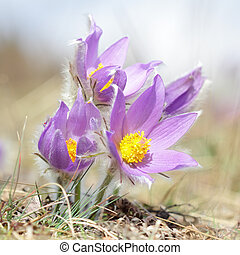Pasque wild flower blooming in early springtime