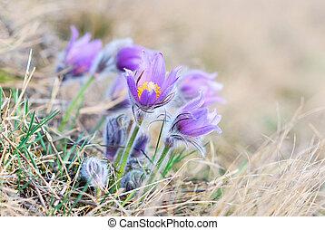 Pasque Wild Flower in Springtime - Pasque Wild Flower Group...