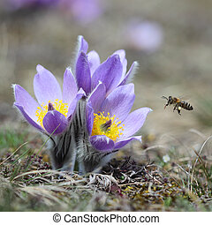 Pasque Wild Flower with a bee in sunny Springtime