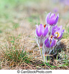 Pasque Wild Flower with ladybird in sunny Springtime