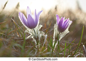 Pasque wild flowers blooming in early springtime