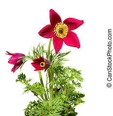 Pasqueflower or meadow anemone on white background