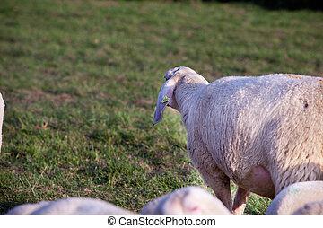 passato, dietro, occhiate, sheeps