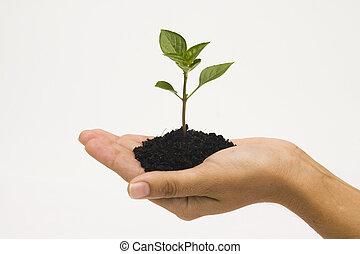 passe segurar, seedling