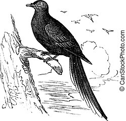 Passenger Pigeon or Wild Pigeon (Ectopistes migratorius), ...