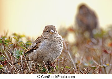 passer domesticus - female house sparrow standing on a bush