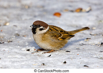 Passer montanus - Sparrow close up on snow (Passer montanus)