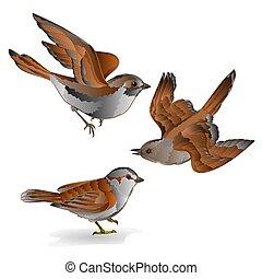 passer, vektor, domesticus, wenig, haussperling, vögel, ...