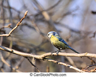 Blue Tit (Cyanistes caeruleus) - passerine bird in Poland