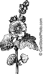 Passerose or Hollyhock, vintage engraving. - Passerose or...